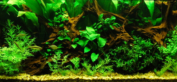 Freshwater Planted Aquarium Aquatic Gardens